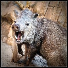 In tucson we have rats the size of small dogs we call them javelina. Javelina those canine teeth make wolf teeth look small!!!