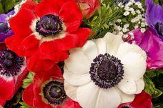 Anémona, la flor del amor intenso