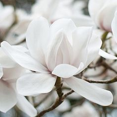 Magnolia, so pure and here in the UK they come out early, this year there were no frosts to tarnish their beauty. Magnolia, so pure and here in the UK they come out early, this year there were no frosts to tarnish their beauty. White Flowers, Beautiful Flowers, Most Popular Flowers, Magnolia Flower, Magnolia Trees, White Gardens, Ikebana, Planting Flowers, Flower Arrangements