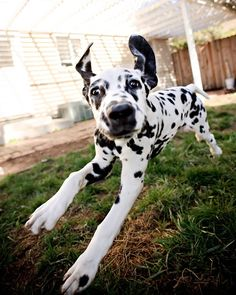 flying Dalmatian...young pup...always full of energy irregardless of age! Yikes!!