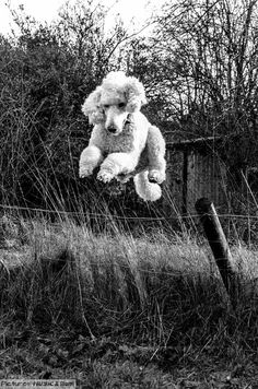 Flying poodle, they have very strong hips, and can therefor jump very high.