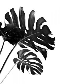 Monstera Finesse 2 poster by from collection. By buying 1 Displate, you plant 1 tree. Black And White Picture Wall, Black And White Posters, Black And White Wallpaper, Black And White Background, Black And White Pictures, Black And White Leaves, Black And White Prints, Black And White Design, Gray Aesthetic