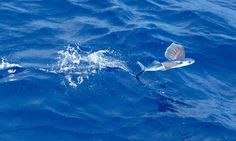 Flying Fish, Flying Fish Pictures, Flying Fish Facts - National ...
