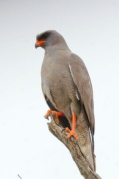 Dark Chanting Goshawk (Melierax metabates) by Arno Meintjes Wildlife, via Flickr
