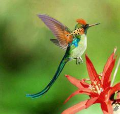 A species of Fork Tailed Hummingbird (Kolibri)♥ World Birds, All Birds, Little Birds, Love Birds, Exotic Birds, Colorful Birds, Pretty Birds, Beautiful Birds, Bauch Tattoos