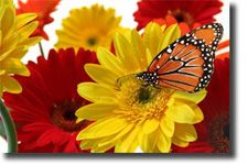 I'm planning on growing some Gerbera Daisies this summer.