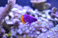 """Saltwater Fish Tank Royal Gramma, I had one of these and his name was """"half-pint."""" because if you said his name with an cockney english accent, it sounds like """"Half-Paint"""" so we would say, """"half painted purple and half painted yellow."""""""