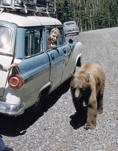 Yellowstone in the 1950's  Don't try this now! Bears not acclimated to people and will bite!