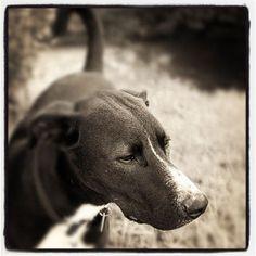 Old School Old School, Pitbulls, Dogs, Animals, Pit Bulls, Animaux, Doggies, Animales, Pitt Bulls