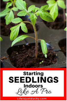 Seed Starting indoors like a pro. Everything you need to know about starting your own vegetable seeds for your backyard garden. Including all the equipment you need such as shelves, lights and pots. How to take care of your new growing seedlings to avoid the most common problems. Grow the best seedlings for this years garden. Get a jump on your tomatoes this spring.With a little help DIY gardening can be fun.