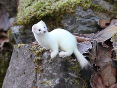 """Curious"" by Doug Beach: This ermine was really curious about what I was doing. Taken during the Bald Eagle Festival in Haines, Alaska."