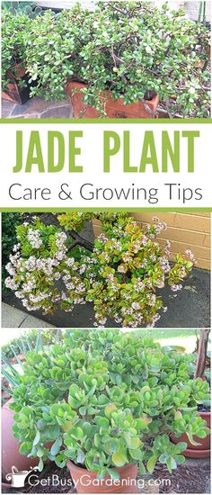 Jade plants are easy to grow succulents that make great, low maintenance houseplants. Follow these detailed jade plant care tips for growing them indoors.