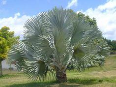 Bismarckia nobilis, Palmeira-bismarckia, Palmeira-de-bismarck