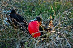 Nesting frigate birds in Galapagos_ Ecuador