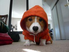 Hoodlum corgi!
