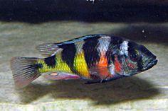 Tropical Freshwater Fish, Tropical Fish Aquarium, Freshwater Aquarium, Cichlid Aquarium, Cichlid Fish, Malawi Cichlids, African Cichlids, Mundo Animal, My Animal