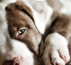 Pit bull baby :)