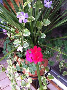 Geranium in the Winter