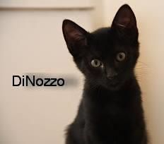 Petango.com – Meet DiNozzo, a 7 months 18 days Domestic Shorthair / Mix available for adoption in WACO, TX