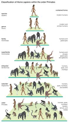 Classification of modern humans (Homo sapiens) within the order Primates.