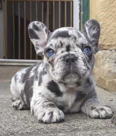 Merle French Bulldog Puppy with Blue Eye, just exquisite ❤️❤️ - Hunde - Puppies Puppies With Blue Eyes, Cute Dogs And Puppies, Baby Dogs, Doggies, Pug Dogs, Blue Eyed Puppies, Cute Bulldog Puppies, Dogs Pitbull, Maltese Dogs