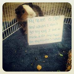 Guinea Pig shaming. Just as funny as dog shaming.