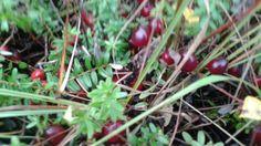 Cranberries Cranberries, Cherry, Fruit, Food, Essen, Meals, Prunus, Yemek, Eten