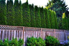 italian cypress hedge - These were topped, but they make a great hedge