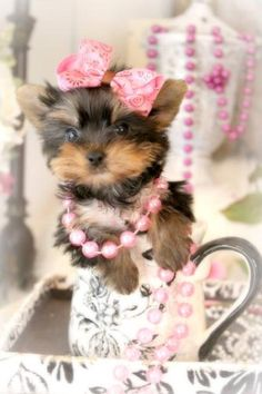 Some of the Tiniest, Most Beautiful Teacup Yorkie Puppies in the World! Teacup Yorkie and Small Toy Yorkies for Sale. Micro Teacup Yorkie, Teacup Yorkie For Sale, Teacup Chihuahua Puppies, Yorkies For Sale, Yorkie Puppy For Sale, Cute Little Animals, Animals For Kids, Baby Yorkie, Pug Cartoon