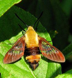 hummingbird moth | Hummingbird Moth | Flickr - Photo Sharing!
