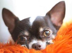 Please!!!!!!!!!!!!!!!!!!!!!!!! Chihuahua  Great Chihuahua Portrait