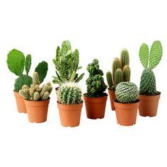 I love cacti. x