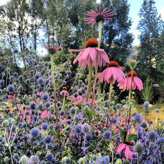 Echinacea & Eryngium John Denver Sanctuary Gardens at Sunrise Julie Kellams Hobor planting design and photo