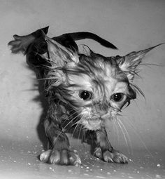 """""""To bathe a cat takes brute force, perseverance, courage of conviction--and a cat.  The last ingredient is usually hardest to come by."""" --Stephen Baker"""