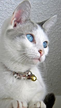 Such a beautiful cat! Lovely blue eyes <3