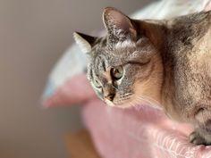Scottish Foldのあずき♀ 普段は孤独ちゃんなんだけど ホントは甘えん坊❓ Her wants my attention. Gifu, Cats, Animals, Gatos, Animales, Animaux, Animal, Cat, Animais