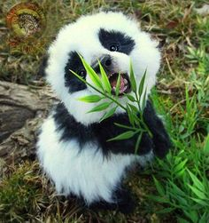 Baby panda  who doesn't mind his future restricted diet of bamboo for every meal !! as the zoo keeper says it will help him grow into big Panda soon ( kinda like human parents telling their kids that Green giant corn will help them grow as big as the green guy on the advert ‼❤