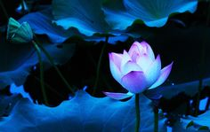 Blue Lotus Flower wallpaper 01