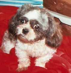Cody is an adoptable Shih Tzu Dog in White Plains, NY. Cody is an adorable, lovable puppy. He walks around wagging his tail and licking everyone in his path. He is very friendly to all humans, dogs, a...