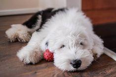 old-english-sheepdog-pup