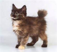 Abyssinian Cat Breeds - Cats In Care Cute Kittens, Manx Kittens, Japanese Bobtail, Warrior Cats, Pretty Cats, Beautiful Cats, Bobtail Japonais, Cool Cats, Gato Manx