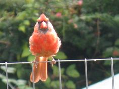 Young Male Cardinal  at The Londonderry Inn, Vermont