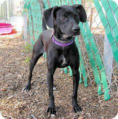 Red Bluff, CA - Labrador Retriever Mix. Meet PIP, a dog for adoption. http://www.adoptapet.com/pet/10892711-red-bluff-california-labrador-retriever-mix
