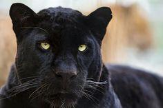 De luipaard - AfrikaanseSavanne