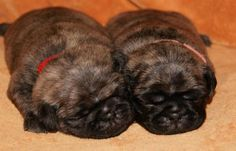 Brindle Pug Puppies.  Yes, please!!!!!