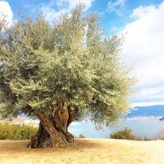 お出かけ先の画像 by taiyo-020xoさん | お出かけ先とオリーブの木と1000年オリーブとボタニカルスポット2016春と小豆島と植中毒とno green no lifeとオリーブの巨木と樹齢1000年とMillennium Olive Tree