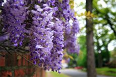 Wysteria flowering tips