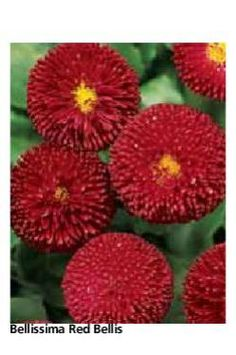 #ClippedOnIssuu from Kieft Pro Seeds 2012 Handsome red bellis flowers.