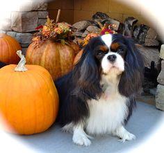 Holley and the Pumpkins Fall 2013 Spaniel Dog, Spaniels, King Charles Spaniel, Cavalier King Charles, Buckets, Fall Pumpkins, Cute Puppies, Babies, Friends