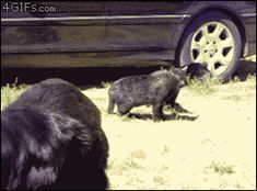 Dogs break up a cat fight